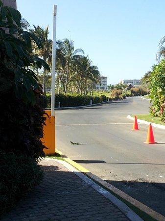 The Grand Mayan at Vidanta Nuevo Vallarta: a huge iguana at the hotel entrance