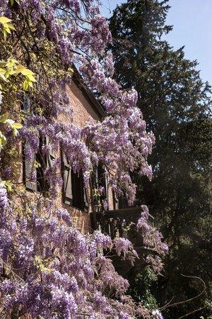 Bistro Pienzenau: Il glicine in piena fioritura