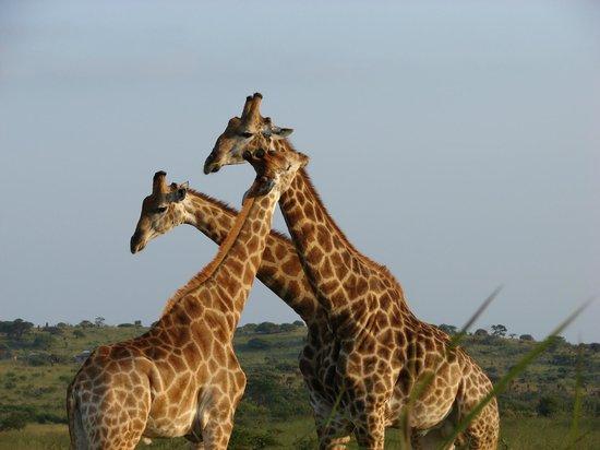 Bonamanzi Game Reserve: The Famous Bonamanzi Giraffe
