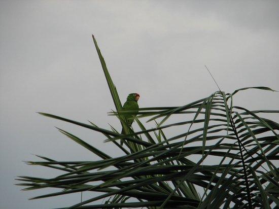 Costa Rica Marriott Hotel San Jose: Red-lored Parrots