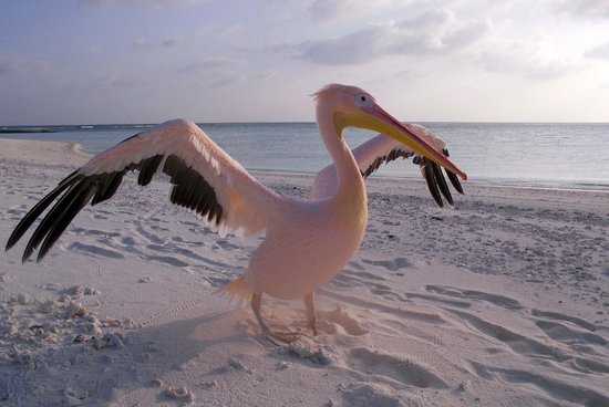 Ellaidhoo Maldives by Cinnamon: Aisha - the pink pelican that lives on Maaga Island