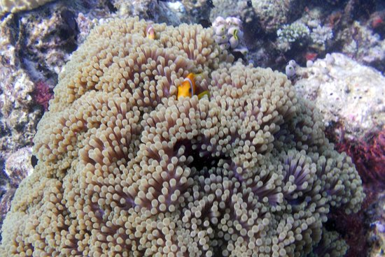Ellaidhoo Maldives by Cinnamon: Tomato clownfish