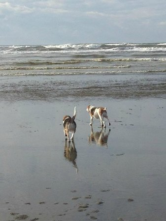 Lighthouse Oceanfront Resort: our beagle Maggie and her cousin Cooper explore the beach