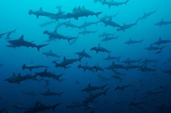 Manta Scuba: Hammerhead Sharks at Gordo Banks
