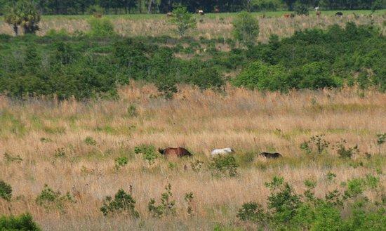 Paynes Prairie State Preserve: wild horses