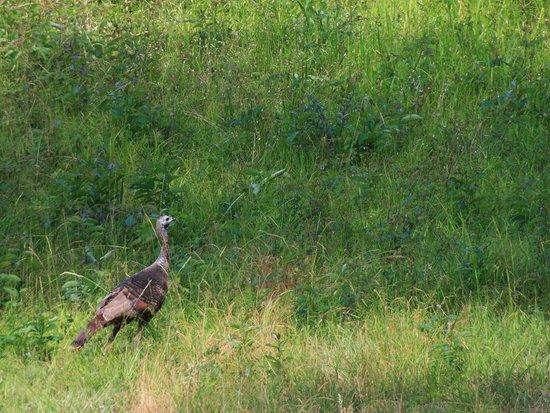 Paynes Prairie Preserve State Park: wild turkey