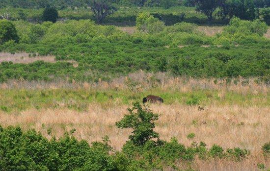 Paynes Prairie Preserve State Park: bison