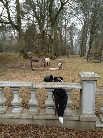 Dundrum House : Spot and his sheep dog instincts at play!