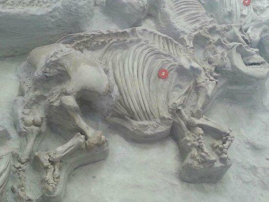 Barrel-Bodied Rhino