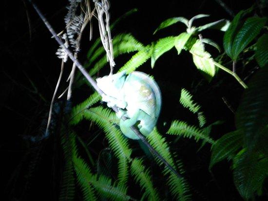 Andasibe, Madagascar: Parsons Chameleon