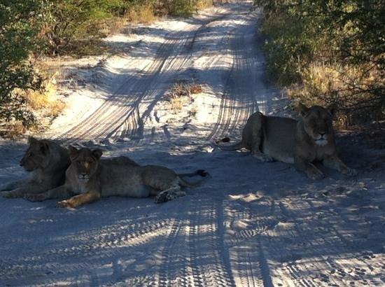 Tau Pan Camp - Kwando Safaris: very relaxed lions