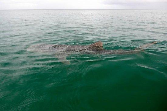 Mafia Island, Tanzania: Whale shark