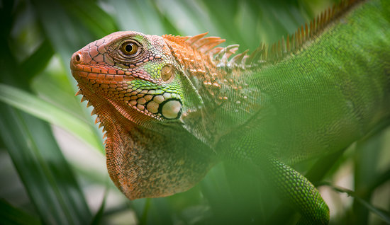 Fidelito Ranch & Lodge: iguana verde