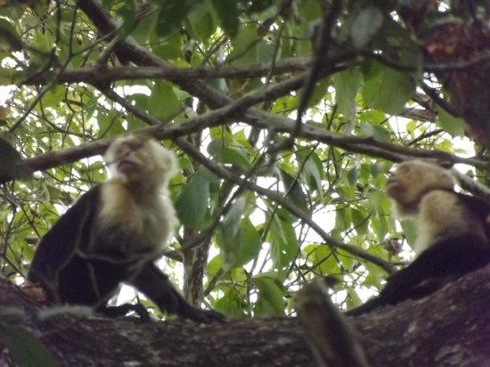 Hotel bungalows SolyLuna los Almendros.: More monkeys
