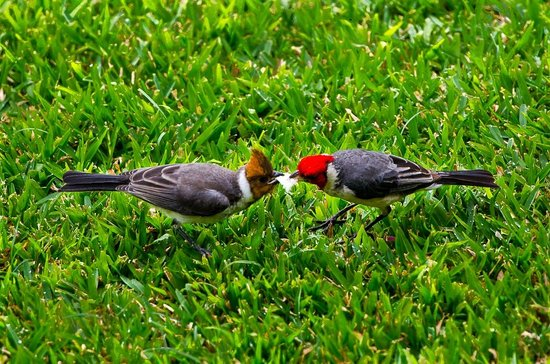 Noelani Condominium Resort: red-headed cardinal + immature