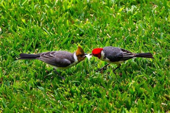 منتجع نولاني كوندومينيم: red-headed cardinal + immature