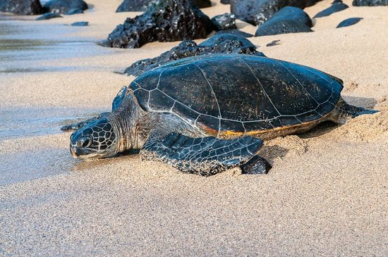 Noelani Condominium Resort: Green Sea Turtle