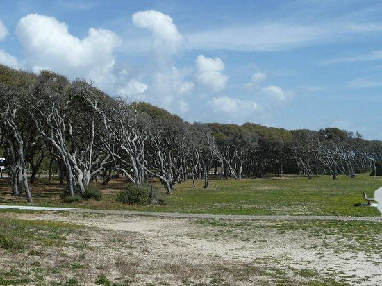 Fort Fisher State Historic Site : Trees bent at Fort Fisher