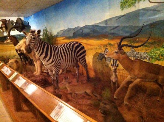 Ralph Foster Museum: wild animals