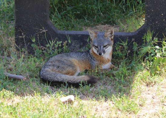 Paddle Sports Center: Grey fox on Santa Cruz Island