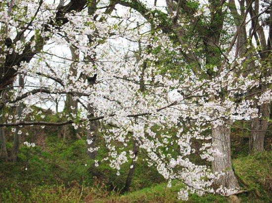 Iiyama Joshi Park: 飯山城址公園・・・ソメイヨシノ