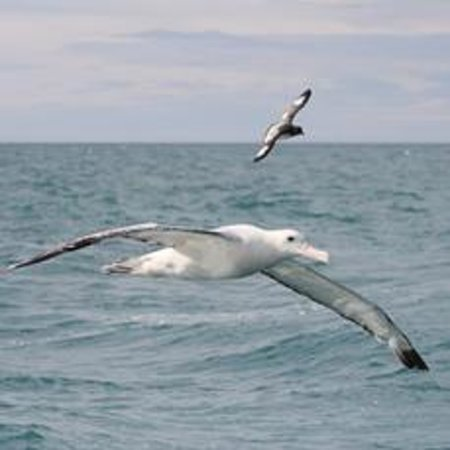 Albatross Encounter: Wandering albatross