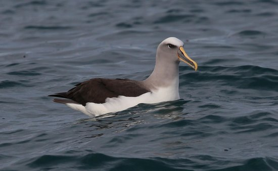 Albatross Encounter: Bullers southern Albatross