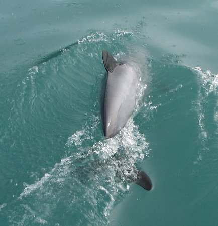 Albatross Encounter: Hectors dolphin