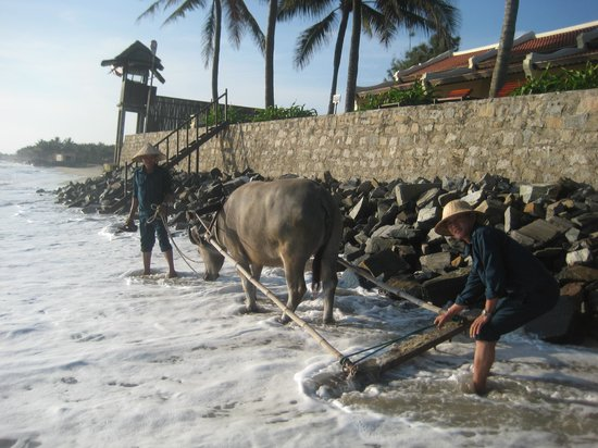 Victoria Hoi An Beach Resort & Spa: Resident water buffalo that rakes the beach daily