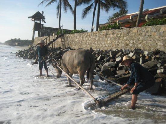 วิคทอเรียฮอยอันบีชรีสอร์ทแอนด์สปา: Resident water buffalo that rakes the beach daily