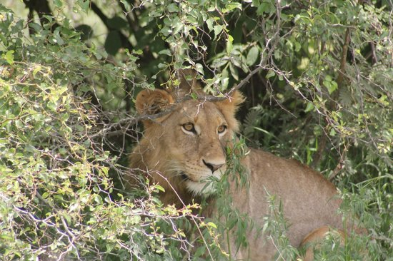 Royal Kruger Lodge: Lion relaxing in the shade