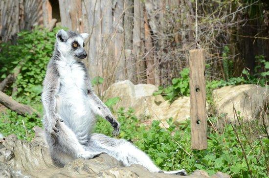 giardino zoologico di pistoia i lemurial bagno di sole