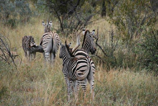 Morukuru Family Madikwe: Zebra