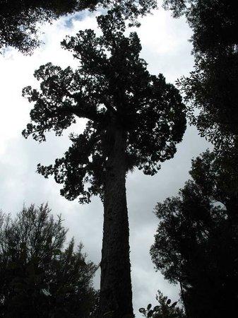 Whirinaki Rainforest Experiences - Day Tours: podocarp