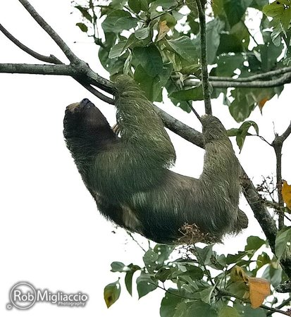 The Springs Resort and Spa: Sloth in a tree on the service road to the hotel - © Rob Migliaccio 2013 - ALL RIGHTS RESERVED