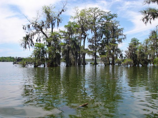 Champagne's Cajun Swamp Tours: cypress trees