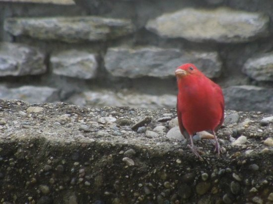 General Butler State Resort : Red Bird outside the dining area