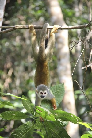 Napo Wildlife Center Ecolodge: Squirrel monkey seen on one of our canoe trips