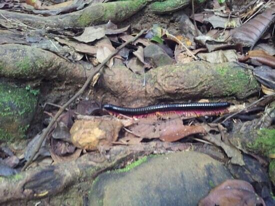 Kubah National Park: Milipede!