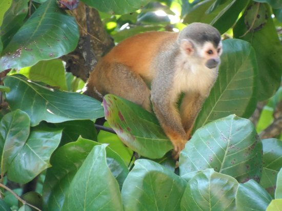 Arenas del Mar Beachfront & Rainforest Resort: Monkey in the tree near our balcony