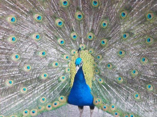 Sparkwell, UK: Peacock beauty
