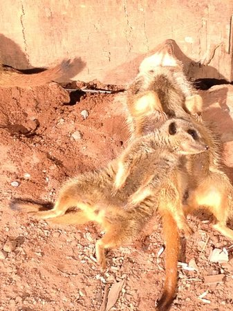 Sparkwell, UK: Meerkats enjoying the sunshine