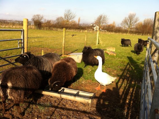 Martin Lane Farm Holiday Cottages: Our small herd of Hebridean sheep