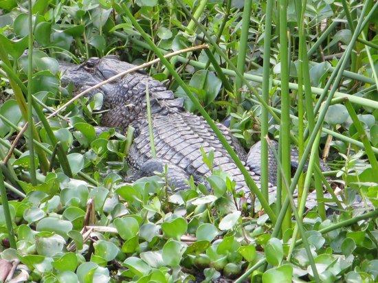 Huntsville State Park: alligator near fishing pier