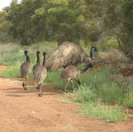 ‪‪Explorers Caravan Park‬: Mr Emu with babies having a stroll‬