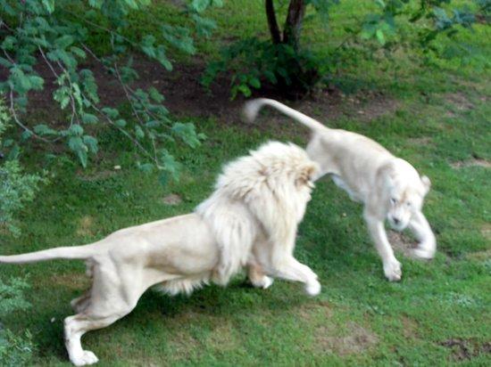 Elandela Private Game Reserve: Leones jugando