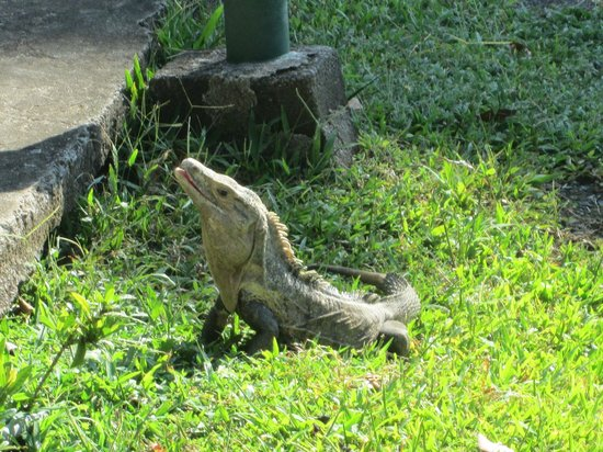 Karahe Beach Hotel: Iguana! there are so many crawling about