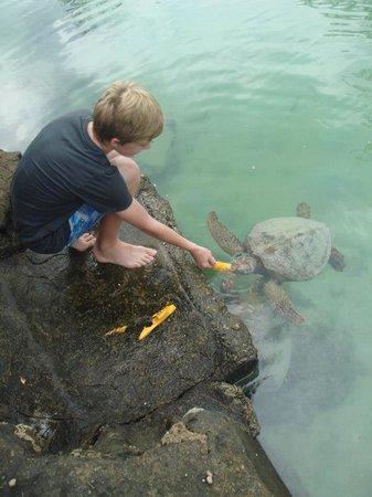 Bluewater Island Resort Aquarium : feeding turtles