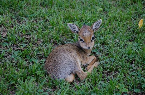 Arumeru River Lodge: Baby dik dik resting