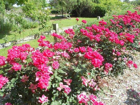 Antique Rose Emporium: Parking lot roses